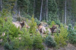 herd-elk-wayne-d-lewis-dsc_1452