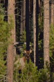 young-elk-wayne-d-lewis-dsc_1351