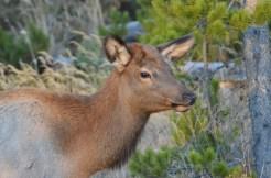 young-elk-wayne-d-lewis-dsc_1379
