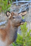 young-elk-wayne-d-lewis-dsc_1391