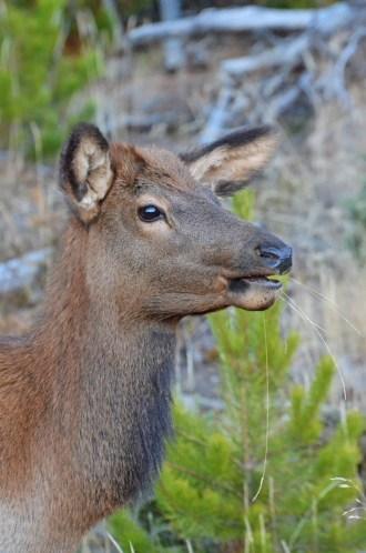 young-elk-wayne-d-lewis-dsc_1393