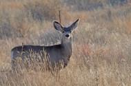 mule-deer-yearling-wayne-d-lewis-dsc_0125