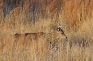 whitetail-buck-wayne-d-lewis-dsc_0197