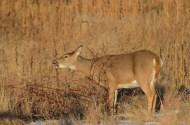 whitetail-doe-wayne-d-lewis-dsc_0171