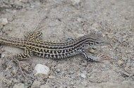 Checkered-whiptail-lizard-Wayne-D-Lewis-DSC_0314