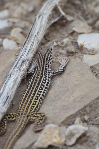 Checkered-whiptail-lizard-Wayne-D-Lewis-DSC_0320