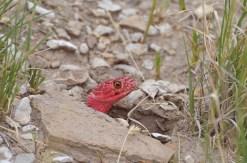Red-Coachwhip-snake-Wayne-D-Lewis-DSC_0266