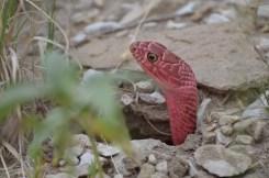 Red-Coachwhip-snake-Wayne-D-Lewis-DSC_0284