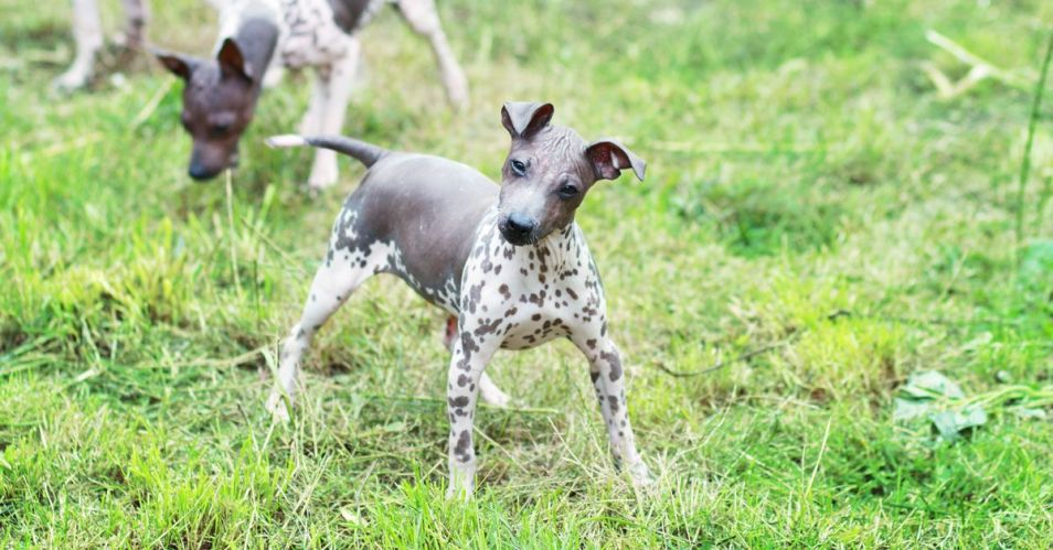 American Hairless Terrier Breed