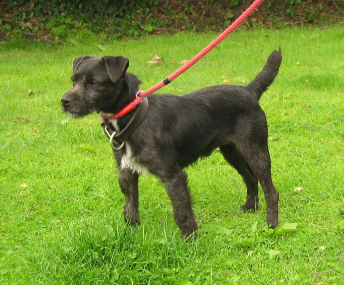 Patterdale Puppy Dog