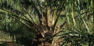 Biodegradable plastics from palm oil waste