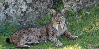 Conservation actions see Iberian lynx claw back from brink of extinction