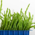 How One Farmer Is Introducing Americans to Sea Beans