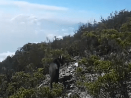 In Sumatra, a vulnerable, 'mythical' wild goat lives an unknown life