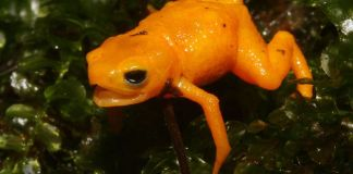 Biologists Discover New Species of Glowing Pumpkin Toadlet