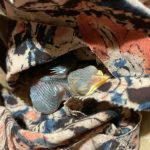 Sri Lankans find a digital helping hand for baby birds fallen from nests