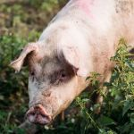 Mother Pig Rescued With Piglets After Fleeing Farm, Giving Birth In Woods