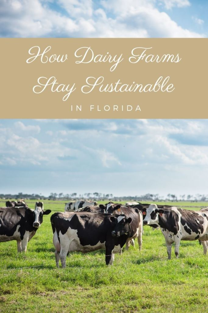 Want to learn more about what dairy farms are?  This post shares What is dairy farming and all about how dairy farms in Florida stay sustainable.  As well as how many dairy farms are in the US and Florida.