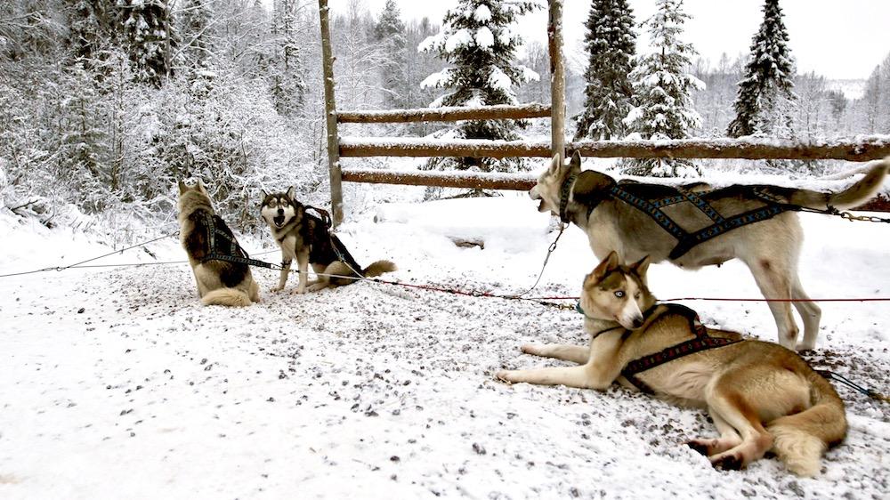Happy-Fox-Arctic-Husky-Adventure-huskies-waiting
