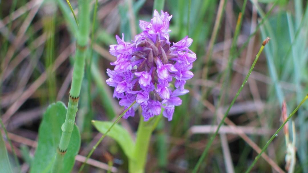 Happy-Fox-Arctic-Nature-Trip-purple-flower-p