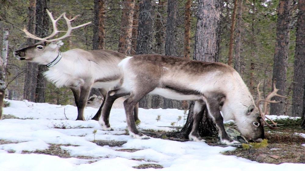 Happy-Fox-Christmas-is-Here-reindeers