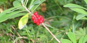 Happy Fox Lingon Berries