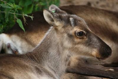reindeer-79082_1920 kopio