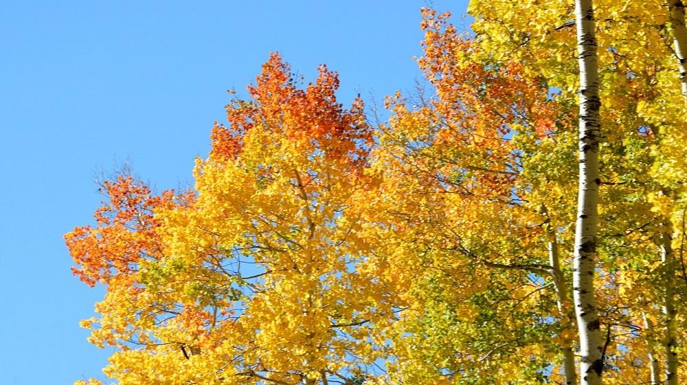 Happy-Fox-Fall-Colors-by-canoe-fall-colors-birch