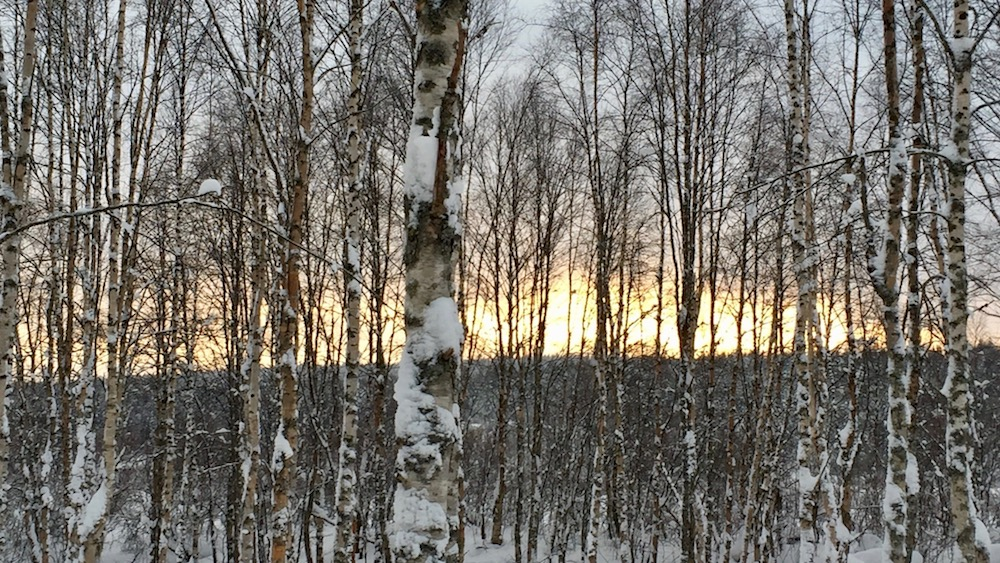 Happy-Fox-Arctic-Picnic-and-Forest-Walk-birch-trees-p