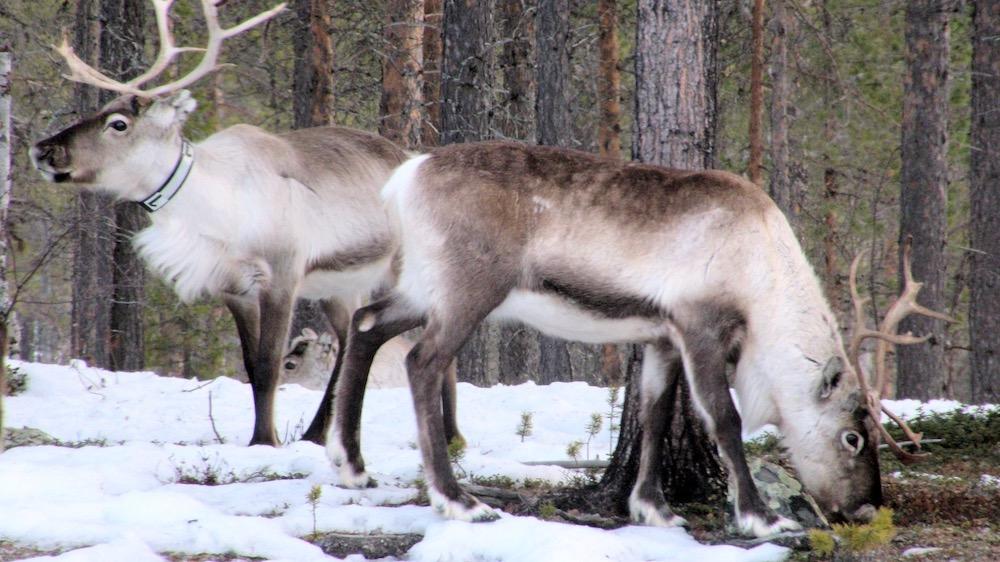 Happy-Fox-Arctic-Reindeer-Adventure-reindeers-p
