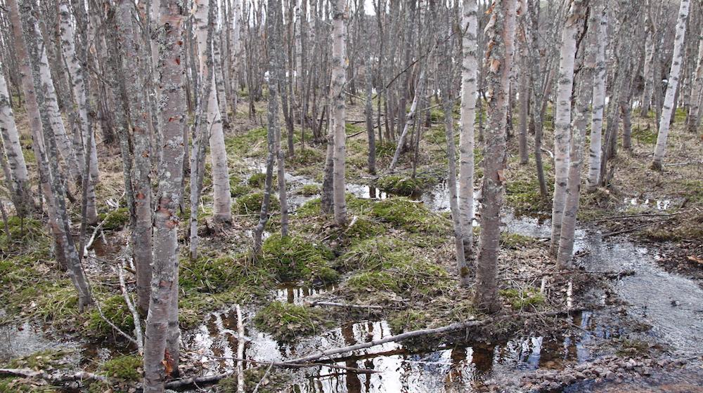 Happy-Fox-Nature-Awakens-moist-pirch-forest