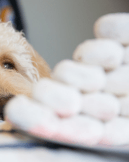 Cream goldendoodle dog with plate of donuts and quote by J. Carl.