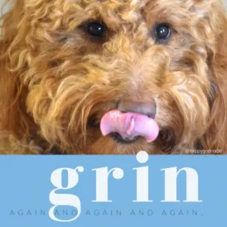 Close-up red goldendoodle dog with tongue out licking nose and words about grinning