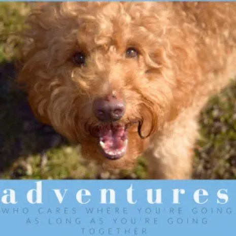 Red goldendoodle dog looking up with smile on face and adventure quote