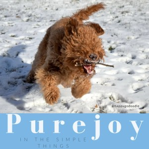 Red goldendoodle dog with stick in open mouth and running in snow with quote about joy