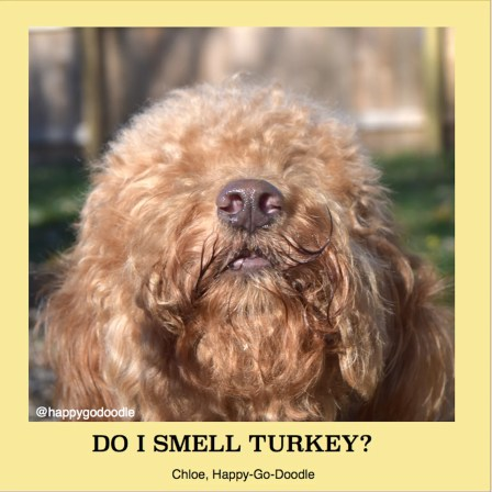 Close-up of red goldendoodle's nose looking up with message by Jenise Carl reads Do I smell turkey