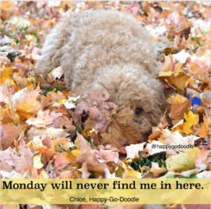 Quotes about fall by Jenise Carl reads Monday will never find me in here and photo of red goldendoodle dog hiding in fall leaves