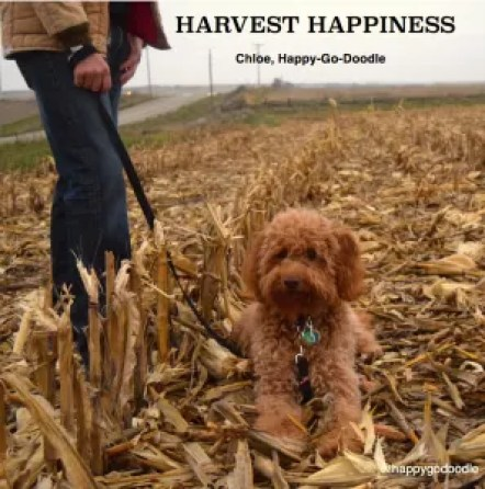 Fall scene of red goldendoodle dog in corn field after fall harvest, country road and harvest quote