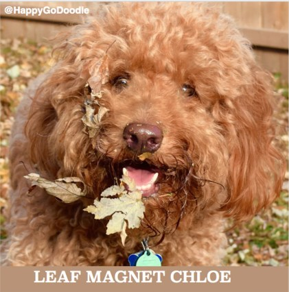 Close-up red goldendoodle dog's face with fall leaves and caption reads leaf magnet chloe