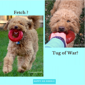 Red goldendoodle dog with red ring toy in mouth and doodle playing tug of war with red toy