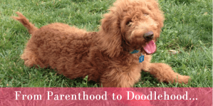 Red goldendoodle puppy with tongue out on green grass and parenthood title