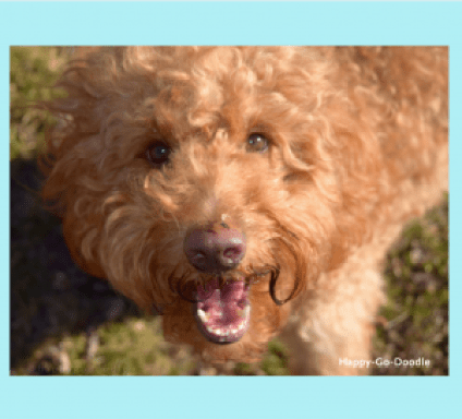 Red goldendoodle dog with smiling face
