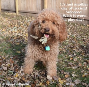 Red goldendoodle dog with fall leaves on face and song parody about raking leaves