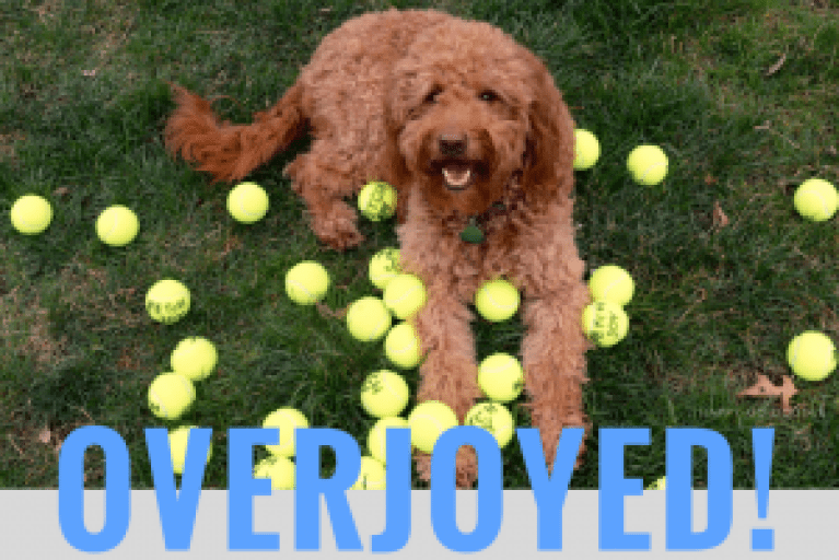 Smiling red goldendoodle dog with dozens of yellow tennis balls and title overjoyed