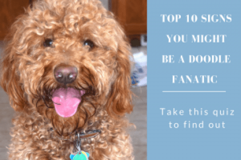 red goldendoodle dog with title ten signs you may be a doodle dog fanatic