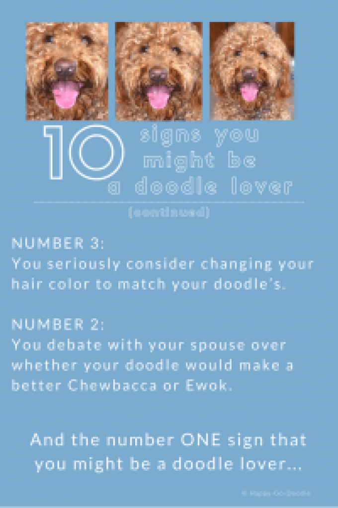 photos of red goldendoodle and two reasons you might be a doodle dog fanatic with text you debate with your spouse over whether your doodle dog would make a better Chewbacca or Ewok