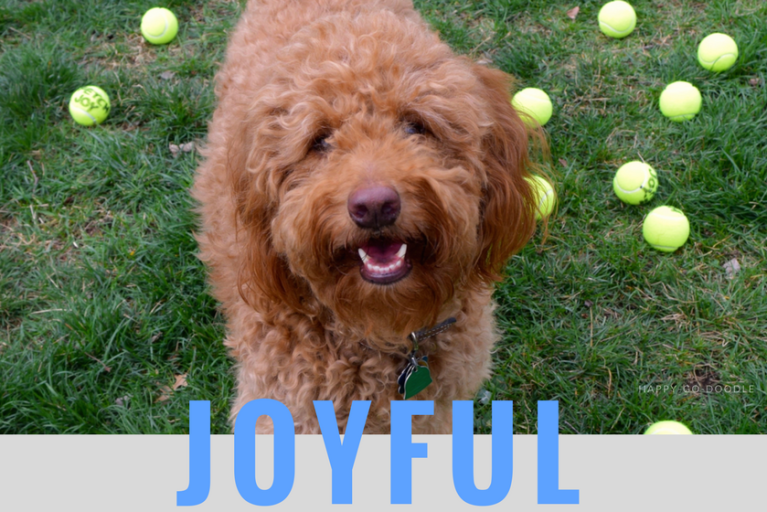 Happy-Go-Doodle, a smiling goldendoodle dog, standing on green grass with tennis balls in background and title joyful