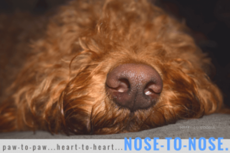 Close-up of the nose of Happy-Go-Doodle, a red goldendoodle, with type paw-to-paw, nose-to-nose, heart-to-heart