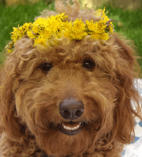 red goldendoodle wearing a dandelion crown