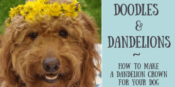 Close-up of red goldendoodle dog wearing dandelion crown and title that says doodles and dandelions how to make a dandelion crown for your dog